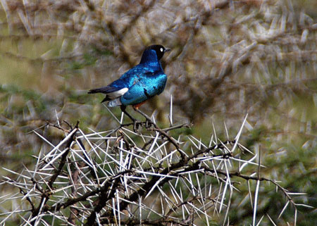 Superb-starling-on-acacia-tree-in-Africa-7-09-6277