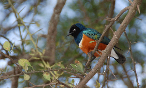 Superb-starling-in-Africa-7-09-6697