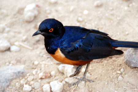 Hildebrandt's-starling-in-Africa-7-09-6446