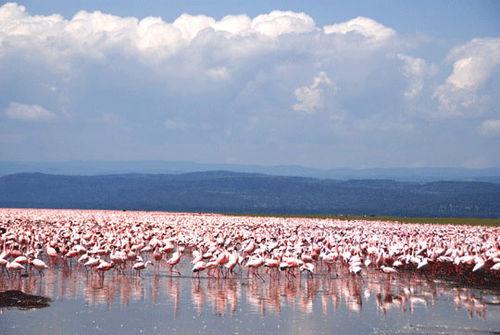 Flamingos at Lake Nakuru