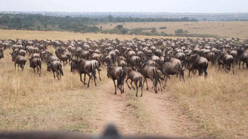 African wildebeest migration