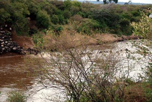 African wildebeest crossing river