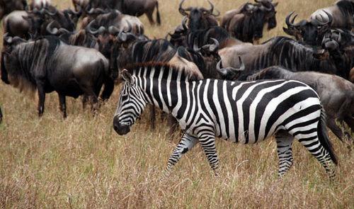 African wildebeest and zebras at Masai Mara