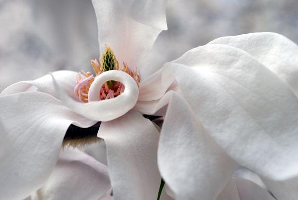 Magnolia2008-04-0945