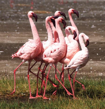Courting flamingos at Lake Nakuru