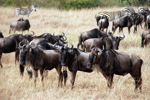 African wildebeest in Masai Mara