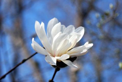 Magnolia8-04-0885