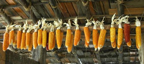 Corn6-11-6177