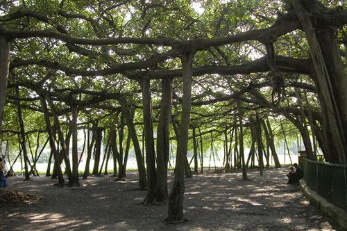 Banyan_2006-10-5275
