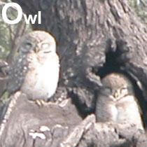 Aa_owl_2005-0406