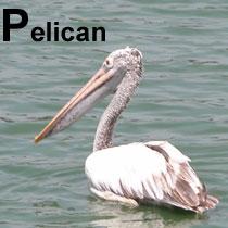 Aa_pelican_2005-04-2858