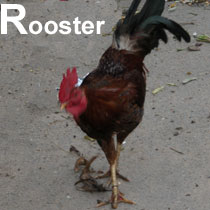 Aa_rooster_2004-3229