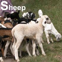 Aa_sheep_2004-2475