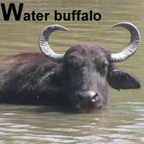 Aa_waterbuffalo_2005-04-227