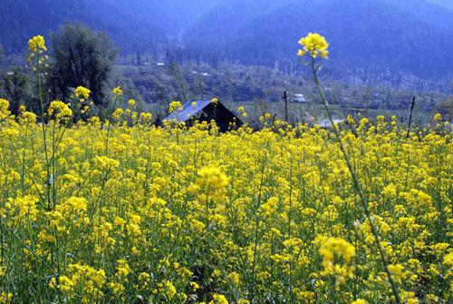 Kashmir_mustard_7-04-2407