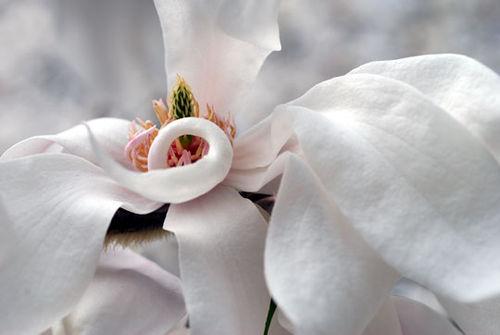 Magnolia8-04-0945