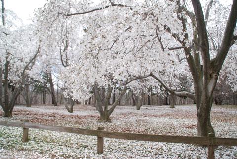 Magnolia8-04-0904