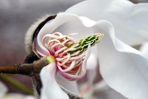 Magnolia8-04-0959