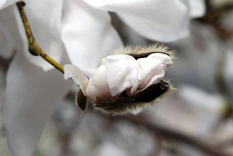 Magnolia8-04-0965