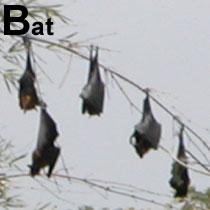 Aa_bat_2004-2733