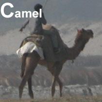 Aa_camel_2005-0264