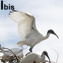 Aa_ibis_2004-2729