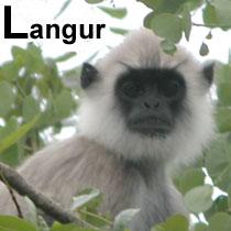 Aa_langur_2005-04-2293