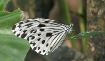 Butterfly_2172