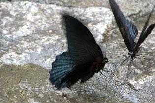 Butterfly_duel_2211