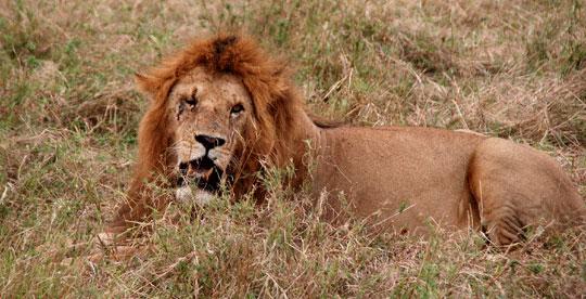 Africa lion 7-09-5493