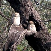 Birds_owls_0406