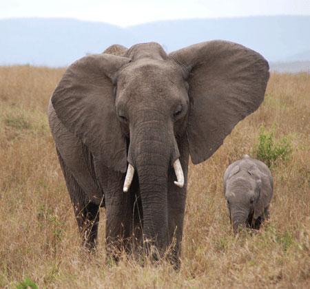 Africa elephant 7-09-5511