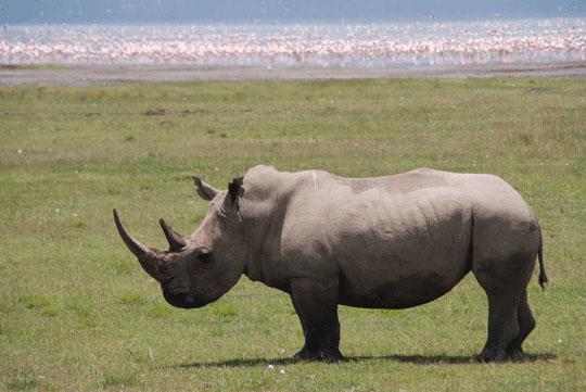 Africa rhino 7-09-6213