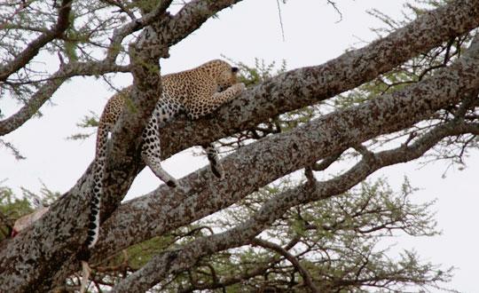 Africa leopard 7-09-6484