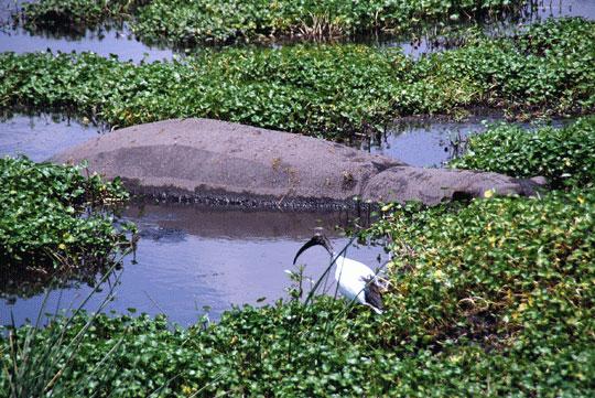 Hippopotamus and sacred ibis 7-09-6959