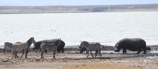 Hippopotamus and zebra 7-09-6892
