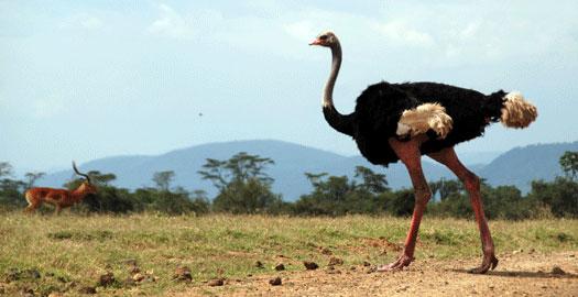 African ostrich 7-09-6267