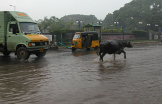 Monsoon_cow_3122