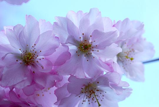Flowering cherry blossoms 8-04-1118