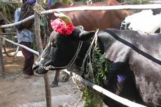 Black_cow_with_flower