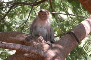 Monkey_in_a_tree
