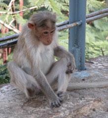 Monkey_sad