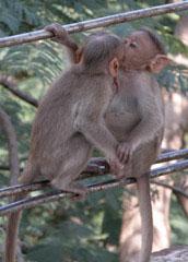 Monkeys_kissing