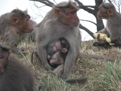 Kodai_monkeys2_2004_1308