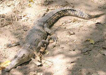 Crocs_longsnout_2004_0877