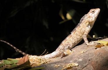 Crocs_lizard_2004_0894