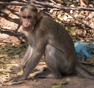 Maha_monkey_2004_0825