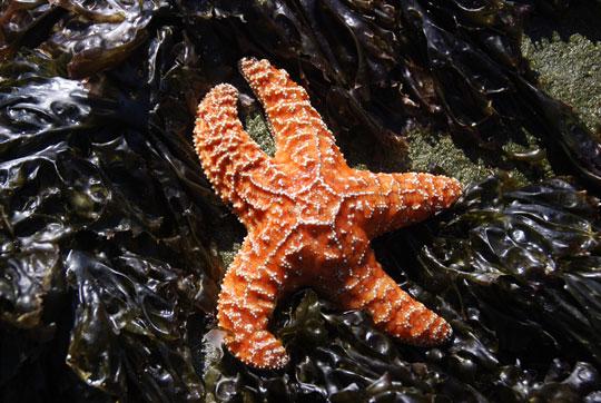 Starfish8-08-6005
