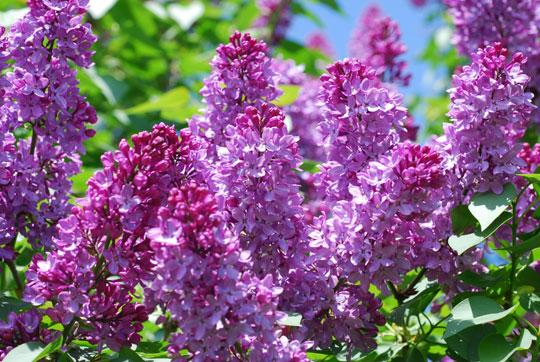 Lilac8-05-1646