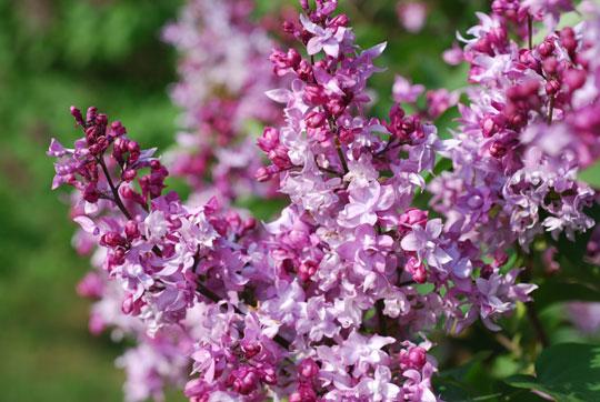 Lilac8-05-1786
